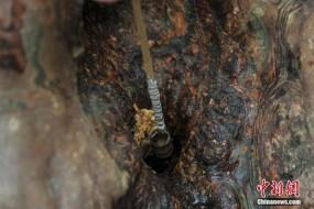 云南600岁紫薇树 树洞能涌出泉水