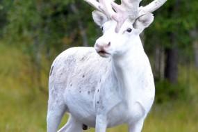 瑞典现极罕见纯白驯鹿 当地人奉为圣物