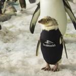 小企鹅掉毛也怕冷 穿帅气毛衣御寒