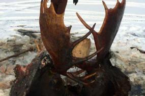 悲情一幕:两驯鹿打架陷冰河被冻僵
