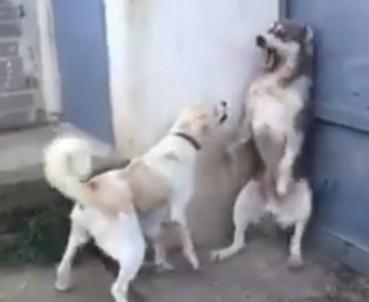 大狗吓到小狗 被狗妈妈骂就是这下场