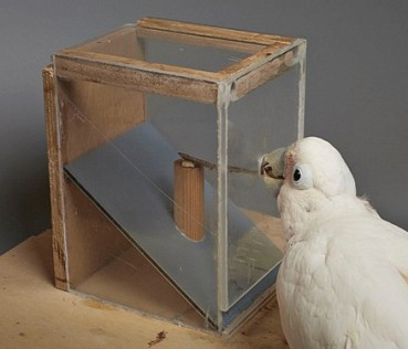 鹦鹉快成精了 能制作工具取食物