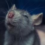研究发现老鼠被挠痒就会开心大笑
