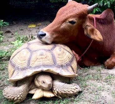 温顺好伙伴 牛和龟龟成密友形影不离