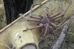 澳洲猎人蛛出没 体型超大令人震撼