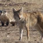 狼狈为奸现实版 狼与獾合作捕猎配合默契