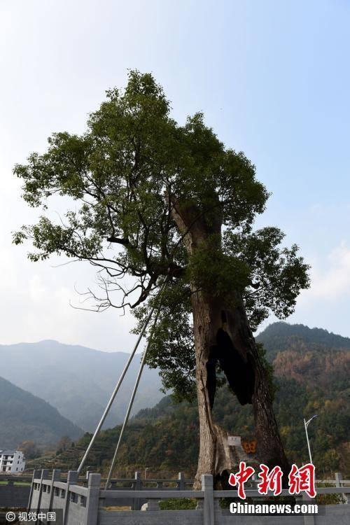 这棵樟树有300多年树龄,在遭雷击之前有40多米高,现在只有10几米高。胡敦煌 摄-趣闻巴士