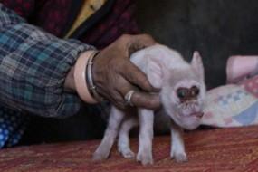 这是猴哥和八戒合体了?母猪生下猴脸猪身怪物