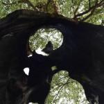 江西300年空心古樟树枝繁叶茂 被赞树坚强