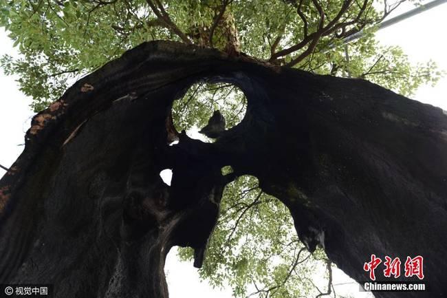 """2016年12月4日,初冬季节,江西婺源县浙源乡岭脚村有一棵直径3米多的古樟树,因遭雷击火烧,树干仅剩两片树皮,却依然郁郁葱葱,被当地人称为""""树坚强""""。-趣闻巴士"""