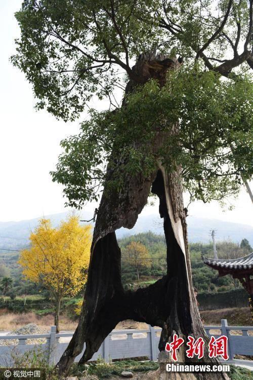 目前,该树已被婺源县列为珍贵树木重点保护对象并进行挂牌保护。胡敦煌 摄-趣闻巴士