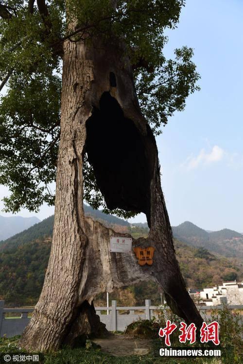 这棵古樟树已存活300年。胡敦煌 摄-趣闻巴士