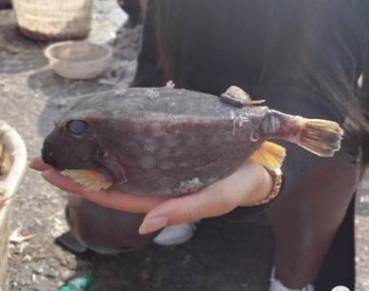 海边四四方方怪鱼竟能毒死自己