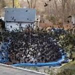大批乌鸦围聚泳池 场景超诡异