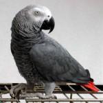 鹦鹉目睹凶杀案 口供被警方采用