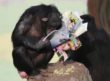 黑猩猩飞速进化 认真看书令人捧腹