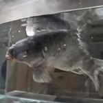 活鱼放进干冰速冻 拿出后结果很神奇