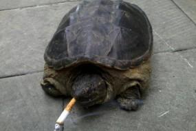 神奇老龟每天抽十支烟