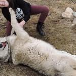 美女与野兽真实版 女子遭强暴后受狼群疗愈