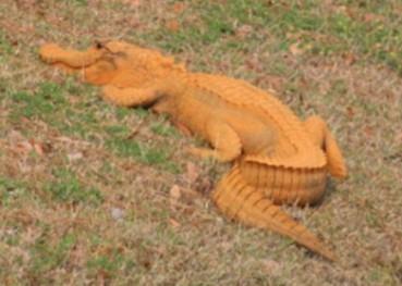 美国鳄鱼浑身黄色被戏称为特朗普鳄