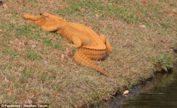 """美国惊现黄色鳄鱼 被网友戏称""""特朗普鳄""""-趣闻巴士"""