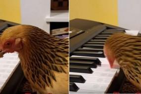 母鸡会用钢琴奏整首歌 一群鸡组成乐团