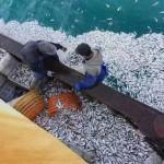 渔船突遇大批鱼浮起 渔民捞到手软