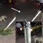 小狗装瘸过马路 见路人要帮忙却飞快跑掉