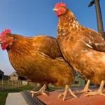 鸡的智商被严重低估 推理能力相当于7岁儿童