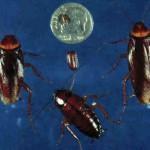 难怪蟑螂杀不灭 3只雌蟑螂就能繁殖