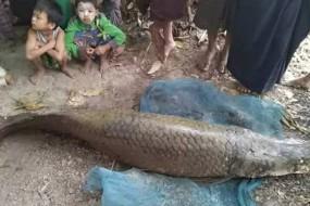 寺内惊现28岁鱼王 超两米长估值百万
