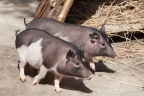 克隆猪身形小巧 长相举止一模一样