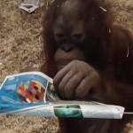 小猩猩怕触电用纸包电线搞破坏 见人拍照赶紧收手