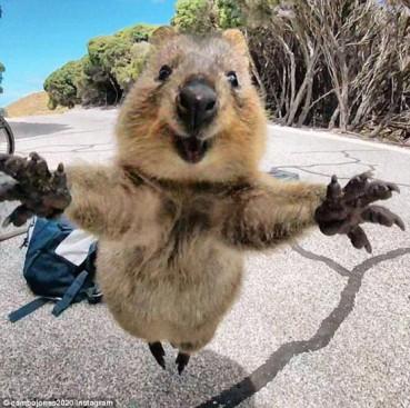 短尾矮袋鼠被抓拍  可爱萌样求拥抱