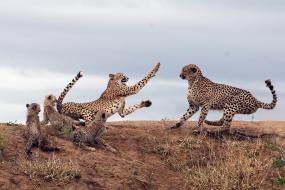 母豹护犊遇敌 搏斗场面堪比动作大片