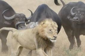 野牛进化 学会合力抗击狮子