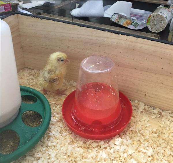 人坐在鸡蛋上能孵出小鸡吗?这个男人做到了!-趣闻巴士