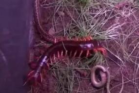 碰到这种蜈蚣毒蛇都不是对手
