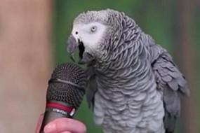 鹦鹉中的战斗机 30岁生日大秀学舌技能
