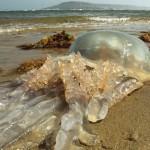 巨型水母攻占海滩似异形入侵