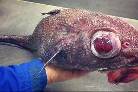俄探险家展示深海底部各种奇异鱼类