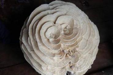 泰国现巨大白色毒蘑菇形似玫瑰花