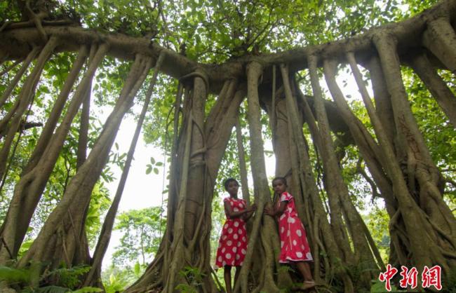 孟加拉国达卡,一棵500岁榕树的树根看起来像许多的树干,创造出一片类似树林的景观。-趣闻巴士