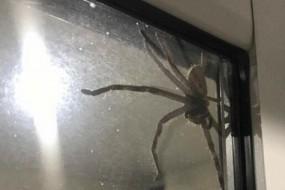 窗户惊现盘子大蜘蛛 主人搬猫做救兵