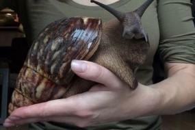 太吓人了!非洲巨型蜗牛跟兔子一样大