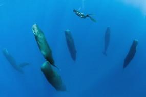 震撼!抹香鲸群竖立打盹瞬间被抓拍