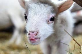 墨西哥一处地表达250度高温 烫死山羊
