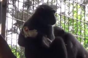 猴子收养小鸡 二个整天形影不离