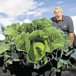 英国老人种出直径1.5米巨型卷心菜
