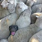 当一只牧羊犬被羊群夹住 表情崩溃了